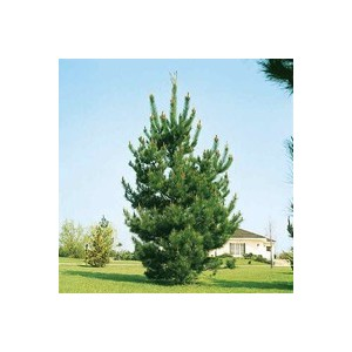 Pinus Uncinata ou Pin 120/150 cm en pot de 12 L 908940