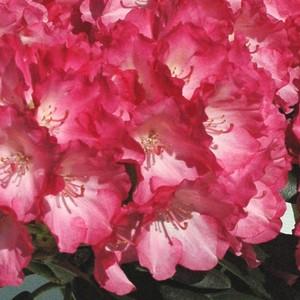 Rhododendron nain rose en pot de 1 L 911884
