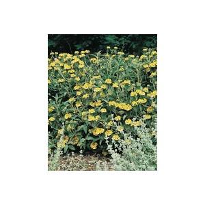 Phlomis Fruticosa. Le pot de 3 litres 474549