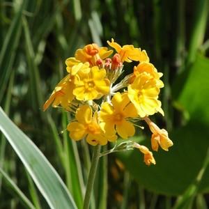 Primula denticulata multicolore en pot de 1 L 913334