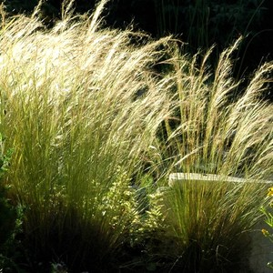 Stipa cheveux d'anges vert en pot de 1 L 913999