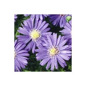 Aster Dumosus. La barquette de 6 plants 862659