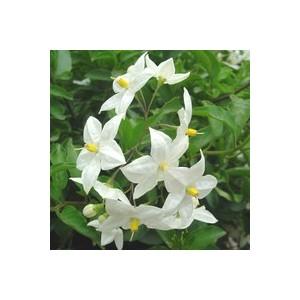Solanum faux jasmin blanc en pot de 9 x 9 cm 453230