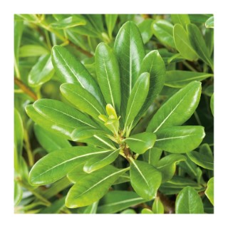 Pittosporum Tobira - pot 10 L 919718
