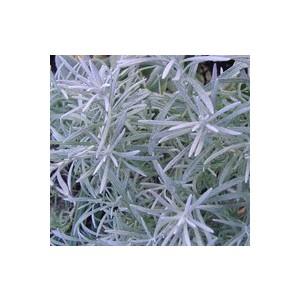 Helichrysum Italicum Tige. Le pot de 1 litre 46018