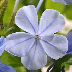 Dentelaire du Cap bleue en pot de 1 L 921233