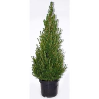 Picea Glauca Conica (sapinette ou épinette blanche) 80/100 en pot de 10 L vert 922360
