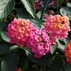 Lantana Rose Vif. Le pot de 9x9 cm 453235
