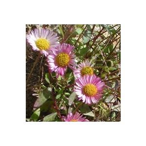 Erigeron Karvinskianus. La barquette de 6 plants 922729