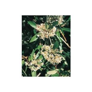 Drymis Aromatica vert 30/40 cm en pot de 3 L 461863