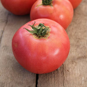Tomate ronde rose de Berne. Le pot compostable de 10,5 cm 41514