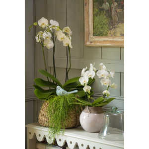Orchidée Phalaenopsis 924799