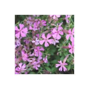 Silène rose en pot de 1 L 110814