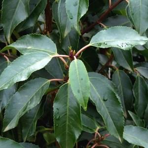 Prunus Lusitanica ou Laurier du Portugal ½ Tige en pot de 15 L 925649