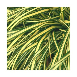 carex evergold. Le pot diam 12 cm 187386