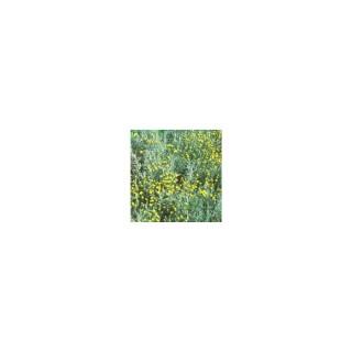 Santolina Chamaecyparissus ou Santoline 25/30 cm en pot de 3 L 150746