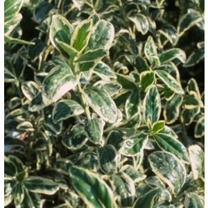 Euonymus Jap. Micro. Panache. Le pot de 1 litre 480342