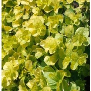 Herbe aux écus. Le pot de 9x9 cm 207535