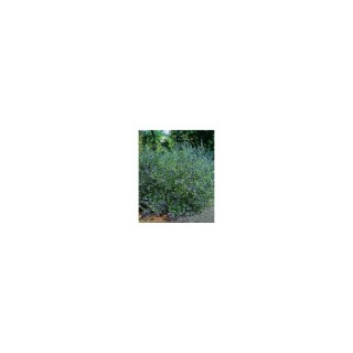 Caryopteris Clandonensis Grand Bleu – Pot de 5L 928163
