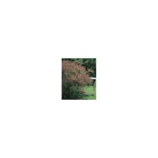 Indigofera Gerardiana – Pot de 3L 928694
