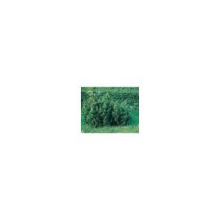 Pinus Mugo ou Pin de Montagne 80/100 cm en pot de 30 L 930554
