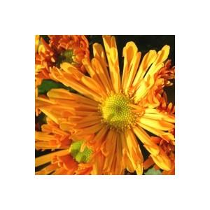 Chrysanthème multifleurs. La jardinière de 50 cm 809204