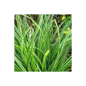 Carex Buchananii. Le pot de 2 litres 928489