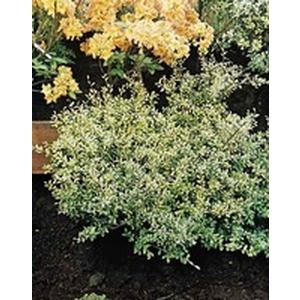 Ilex Crenata Golden Gem ou Houx jaune 25/30 cm en pot de 5 L 818086