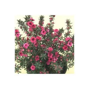 Chamelaucium (Wax Flowers). Le pot de 2 litres 389663
