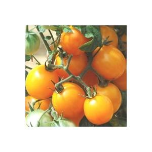 Tomate Cerise ronde Gold Nugget. Le pot de 10,5 cm 41511