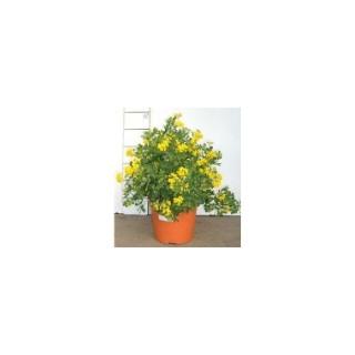 Apportez joie et lumière à votre jardin à l'aide de cette plante arbustive à la floraison vitaminée ! 940363