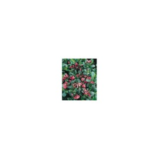 Escallonia Macrantha rose en pot de 10 L 919276