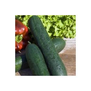 Concombre. Le pot de 10,5 cm 474117