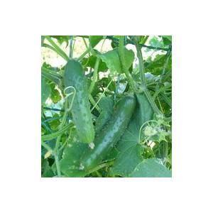 Cornichon Hocus. La barquette de 3 plants 41500