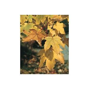 Acer pseudoplatanus ou Erable Sycomore 100/150 en pot de 12 L 908942