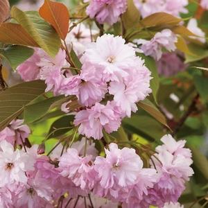 Cerisier de Chine - pot 5 L 953188