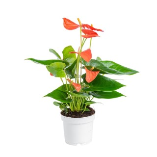 Anthurium royal champion en pot Ø 12 cm 953660