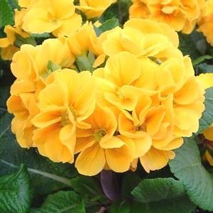 Primevère coucou jaune en pot de 1 L 128683