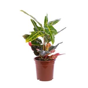 Croton Excellent pot Ø17 cm/ H60 cm 954808