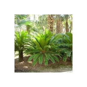 Cyca Revoluta vert en pot de 18 L 920089