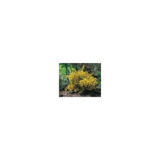 Coronilla Emerus ou Coronille des Jardins jaune 30/40 en pot de 3 L 954850