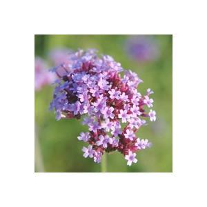 Verbena bonariensis rose en pot de 1 L 796379