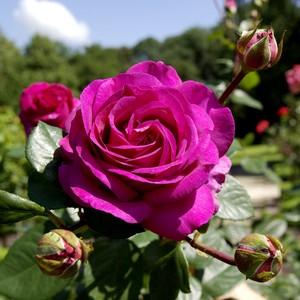 Rosier Grandes Fleurs extra – Pot de 4L 955953