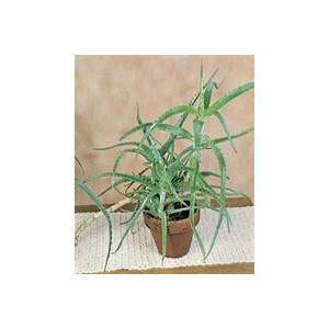 Aloe Arborescens vert en pot de 3 L 955967