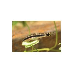 Mangeur d'algue nain 956178