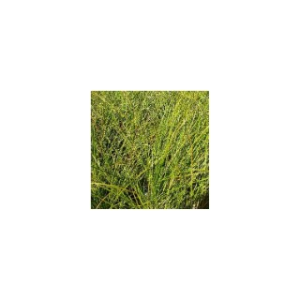 Carex Testacea. Le pot de 2 litres 958118