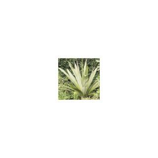 Cordyline indivisa 60/90 cm en pot de 5 L 841631