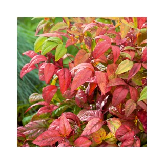 Nandina Domestica Fire Power ou bambou céleste rouge en pot de 3 L 958275