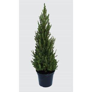 Picea Glauca Conica (sapinette blanche) en pot de 10 L vert 961016