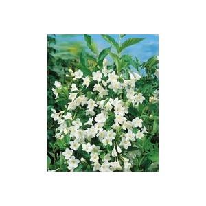 Weigela Candida – Pot de 5L 961096